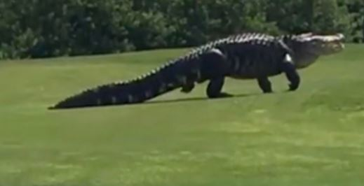 Massive 16ft alligator called Chubbs spotted wandering across golf course