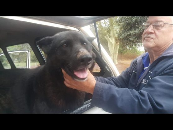 Wollies volunteer and driver Paul Loots brought the Alsatian to the shelter. Photo: Supplied