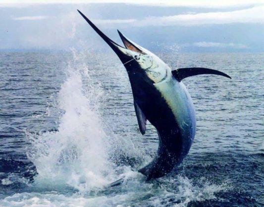 An Atlantic Blue Marlin. Image: Twitter/@@Katerinamusej