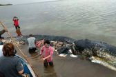 Dead sperm whale in Indonesia found with 6kg of plastic in stomach