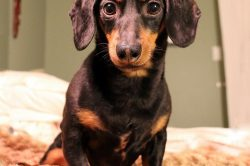 How to care for your Dachshund