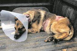 Kruger National Park canine survives lion attack