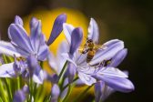 Honey bees face a new threat from the world's most common herbicide