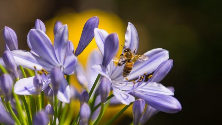 Foraging bees are exposed to a cocktail of toxic chemicals in the environment. Pixabay