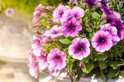 Petunias: Flowers that love the summer heat