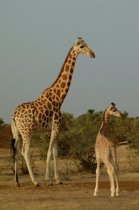 Niger to move protected giraffes as habitat shrinks