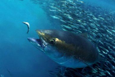 Greed sinks bigeye tuna quota pact, despite SA's effort