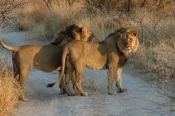 Kruger Park rangers locate fourteen roaming lions in Phalaborwa
