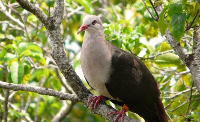 A pink pigeon in the wild of Mauritius. Arcalexx/Flickr, CC BY-SA