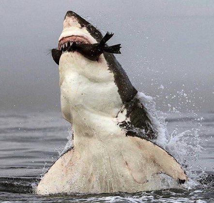 A great white shark attacks a Cape Fur seal. Image: Twitter/@fallowschris