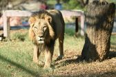 Indian man killed by lion after scaling zoo wall