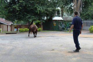 PICS: Bull waltzes into Mbombela CBD to admire gardens