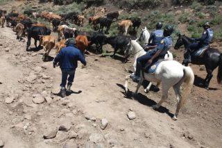 Police impound wandering stock near Lesotho border