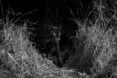 Elusive 'black panther' alive and well in Kenya, study shows