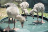 Don't disturb flamingos outside Kimberley – BirdLife SA