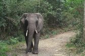 Another lonely Valentine's Day for Knysna forest elephant
