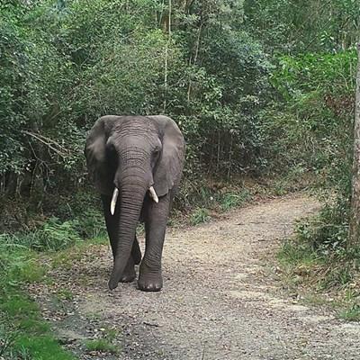 PICS: Evidence of elusive Knysna elephant roaming forest during lockdown