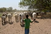 After deadly clashes, Ivorian farmers and herders try dialogue