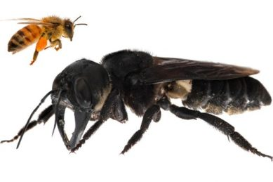 'Flying bulldog': world's largest bee, feared extinct, found again