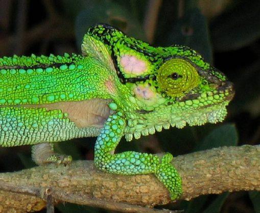 The Knysna dwarf chameleon. Image: Alberton Record
