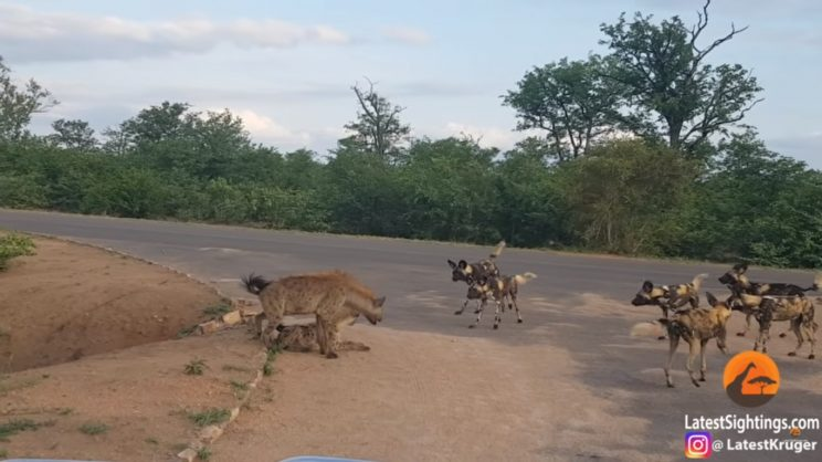 Hyenas go up against wild dogs in Kruger video