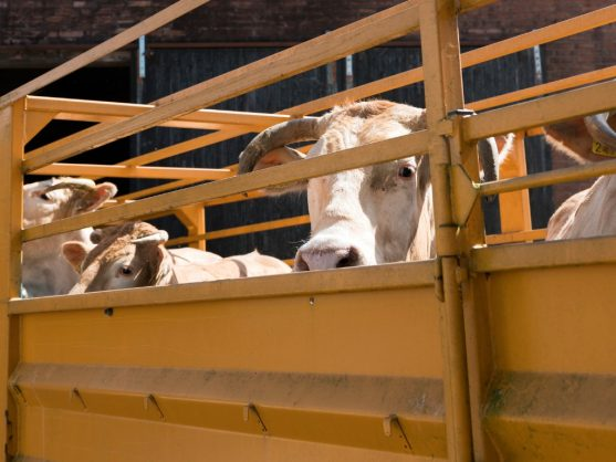 More than 400 cows in KZN test positive for brucellosis