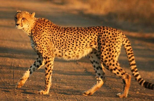 Botswana national in dock after allegedly trying to sell live cheetah, lion bones