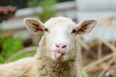 Stolen sheep found stuffed inside boot of Mercedes-Benz