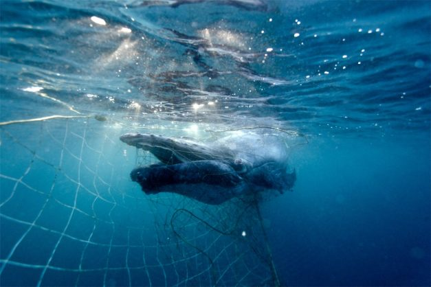 Creatures other than sharks, which pose no danger to humans, often get stuck in shark nets, and die a slow, painful death. Image: Twitter/@hsi_australia