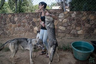 Rescued wolves find a safe haven