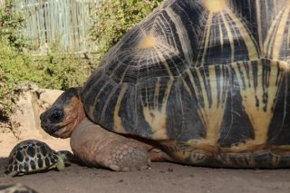 WATCH: Cango Wildlife Ranch welcomes critically endangered baby tortoises
