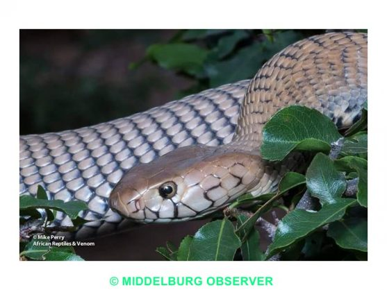 Mozambique spitting cobras plague Mpumalanga residents