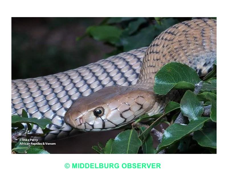 Mozambique spitting cobras plague Mpumalanga residents