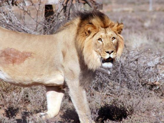 Time to fully ban canned lion hunting and end SA's shame, says NFA