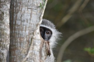 SPCA reunites mother vervet monkey with her injured baby