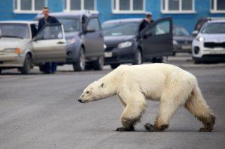Russians capture hungry polar bear roaming Arctic city