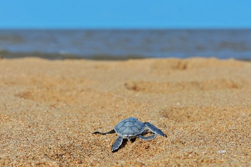 In this file photo taken on June 18, 2019 a green turtle hatchling crawls towards the ocean after emerging from a nest on the beach at Manda island, one of four main island's of the Lamu archipelago where life has changed little over the centuries in this part of Kenya's north coast, however residents fear their pristine environment will soon be blighted by a coal-fired power station spewing noxious gases. Picture: TONY KARUMBA / AFP
