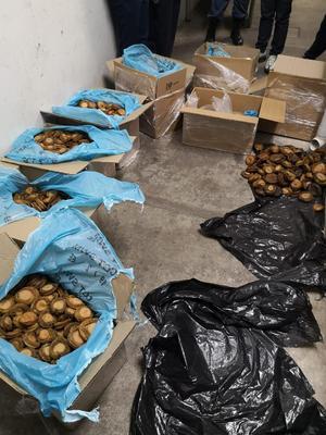Western Cape police seize abalone worth R800k
