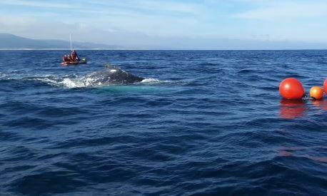 WATCH: Female humpback whale disentangled near St Francis Bay