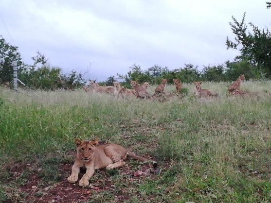 MEC opposes 14 escaped lions being returned to Kruger Park