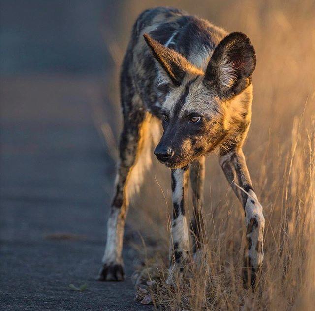 Wildlife groups fighting to save endangered African Wild Dog