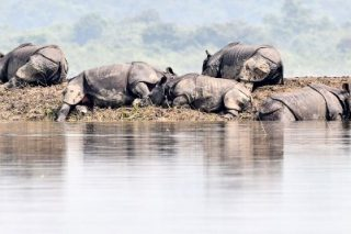 PICS: Tiger, rhinos flee to higher ground in India's flood-hit Assam