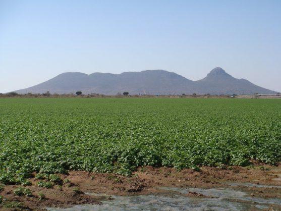 A potato field in Molemole district municipality.