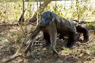 Watch: Komodo Dragon eats entire monkey in just six bites