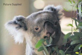 Union blames strike at Pretoria Zoo for 'special' koala's death