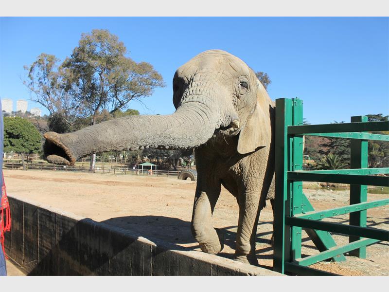 Joburg Zoo justifies cost of acquiring new elephants