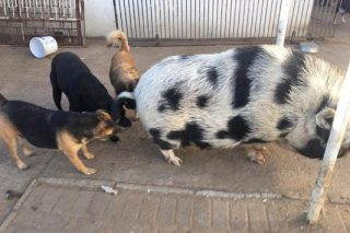 108 dogs and one pig rescued from house of horrors in Odendaalsrus, Free State