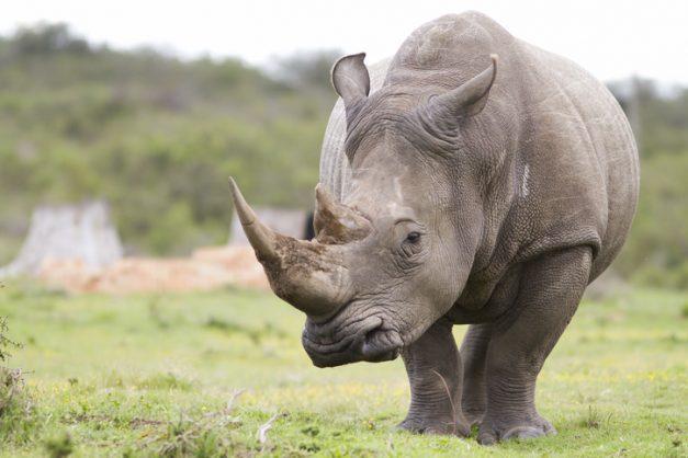 SANParks cracks down on rhino poachers, seven arrested