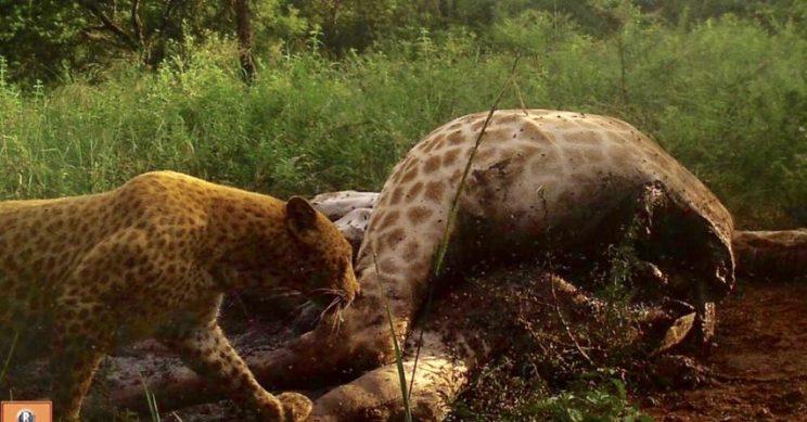 The leopard feasts on the giraffe carcass. Photos: Black Leopard Mountain Lodge website