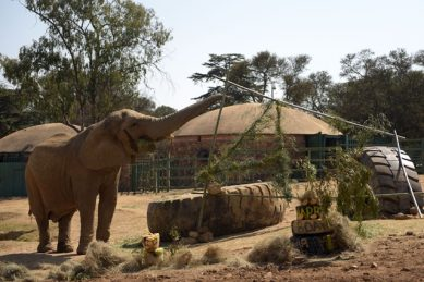 Joburg Zoo's cash cows – and animal activists – aren't happy